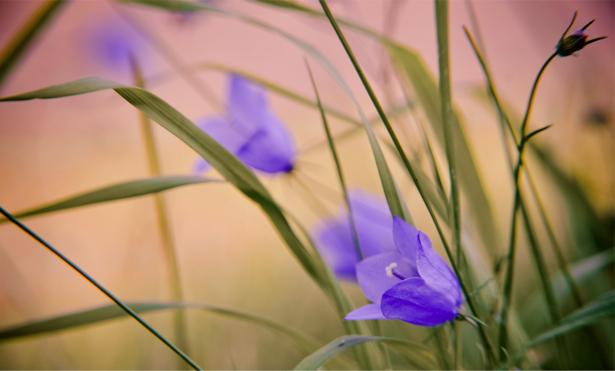 Обои фото Луговые колокольчики (flowers-0000121)
