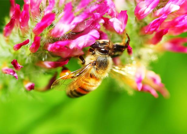 Фото обои на стену Пчела на цветке (flowers-0000471)