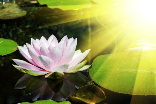 Цветочные фото обои лилии на воде (flowers-0000616)