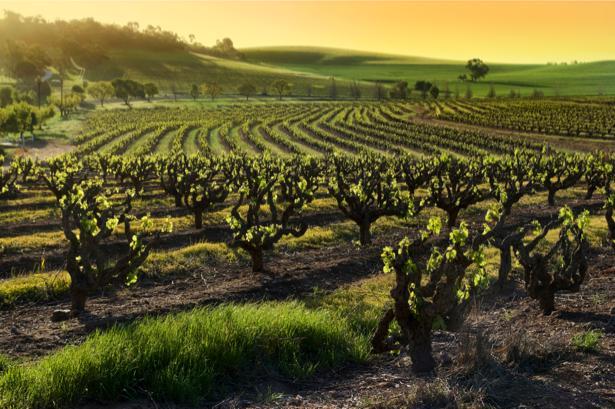 Фотообои с природой виноградник (nature-00137)