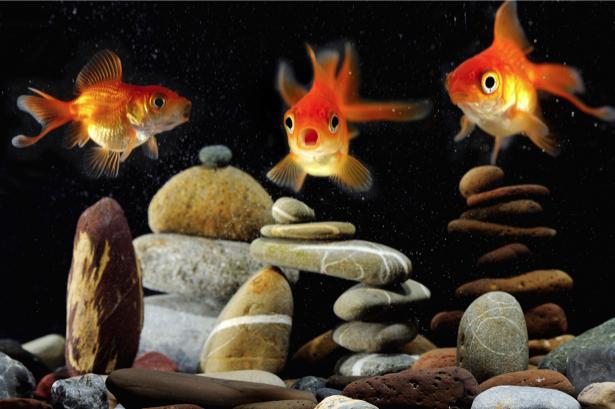 Фотообои в аквариуме золотые рыбки (animals-0000215)