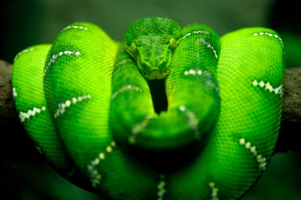 Фотообои зеленая змея (animals-0000230)