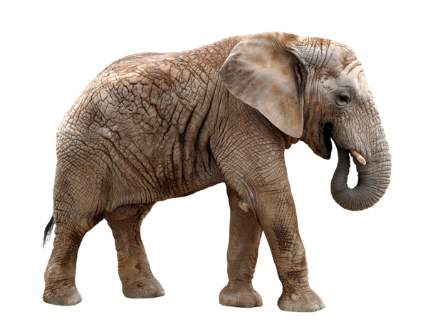 Фотообои слон в профиль (animals-0000349)