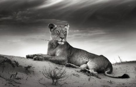 Львица - Фотообои чб (animals-0000460)