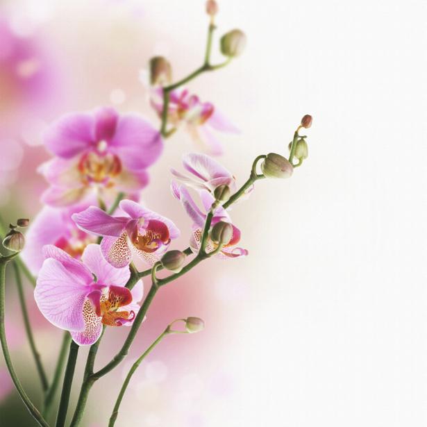 Цветущая орхидея обои для стен фото (flowers-0000024)