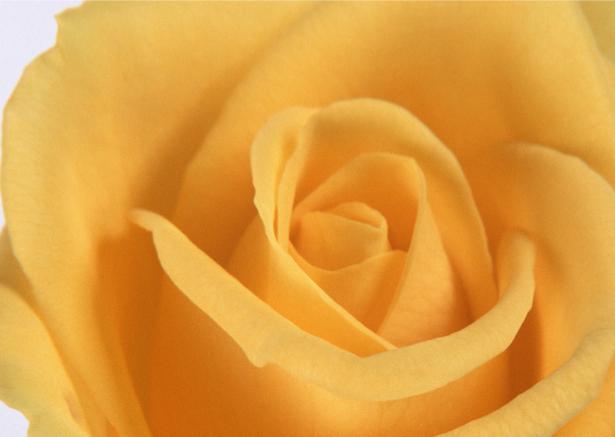 Желтая роза обои на стену цветы (flowers-0000088)
