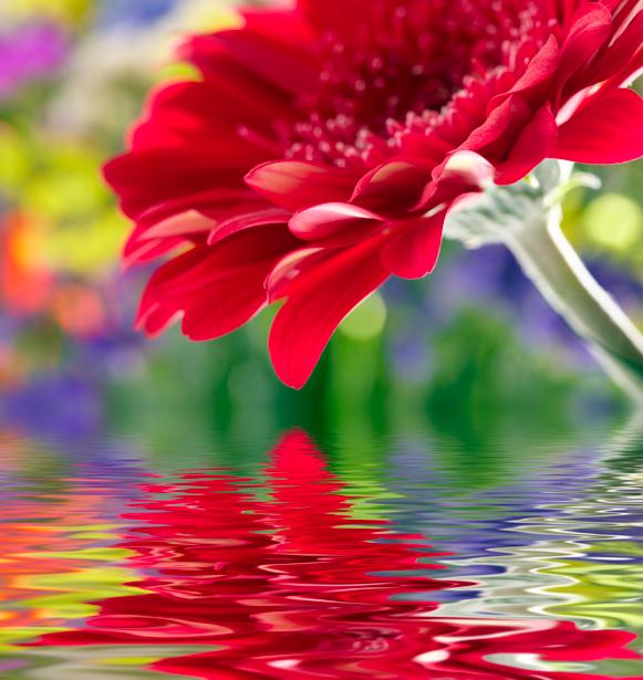 Обои фото Красные герберы (flowers-0000318)