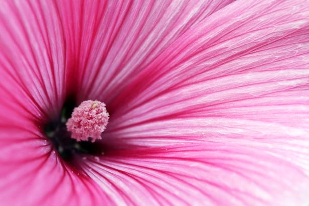 Обои фото Розовый цветок, сердцевина (flowers-0000332)