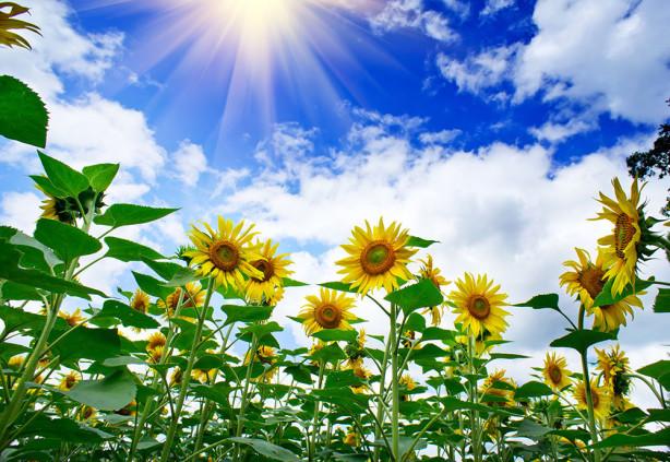 Фотообои Подсолнечник под небом (flowers-797)
