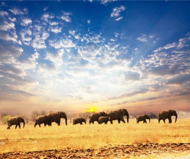 Фотообои сафари, пастбище слонов (animals-0000221)