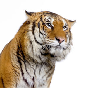 Фотообои тигр портрет на белом (animals-0000249)