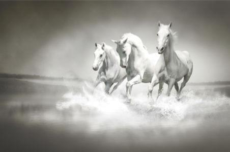 Фотообои белые лошади в аллюре (animals-0000283)