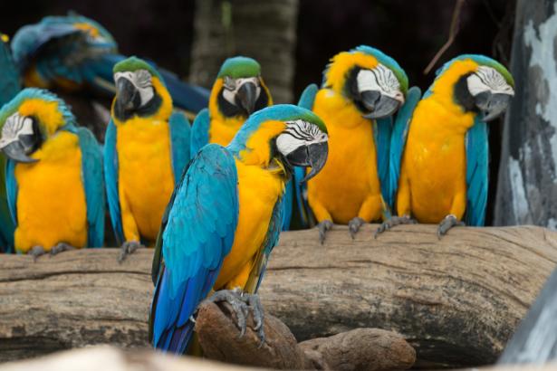 Фотообои композиция попугаи ара (animals-0000492)