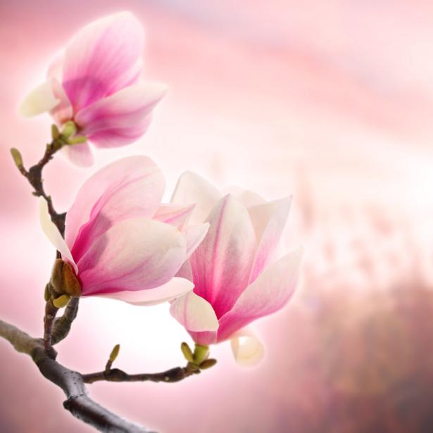 Фотообои цветов на стену Ветка магнолии (flowers-0000004)