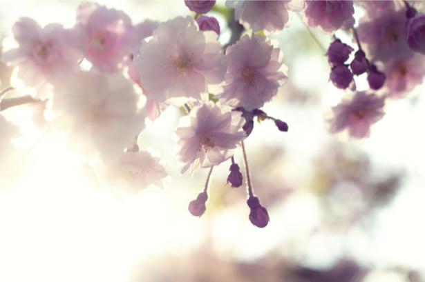Цветущая ветка фотообои цветов на стену (flowers-0000012)