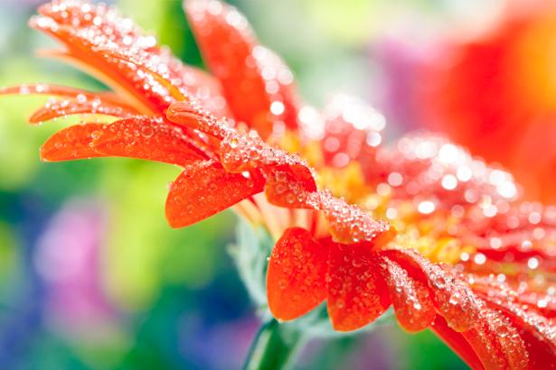 Обои фото Красные герберы (flowers-0000317)