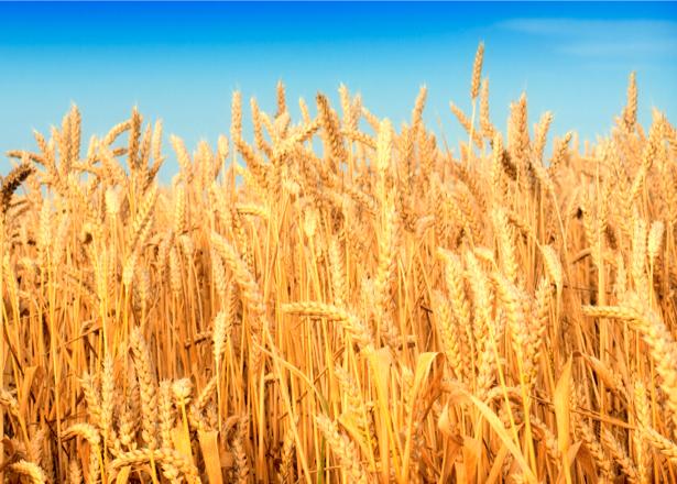 Фотообои с природой пшеница поле (nature-00013)