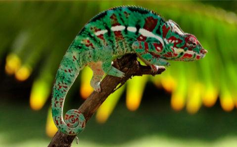 Фотообои с хамелеоном зеленым (animals-0000005)