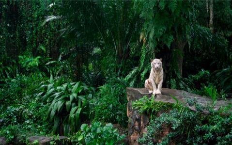 Фотообои с природой белый тигр (animals-0000092)