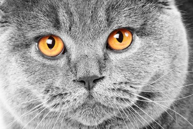 Фотообои пепельная кошка (animals-0000245)
