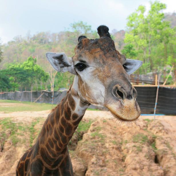 Фотообои Жираф фоо (animals-0000267)