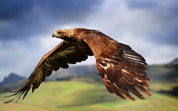 Фотообои орел в полете (animals-0000369)