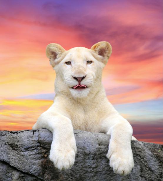 Фотообои Белый лев портрет (animals-0000469)
