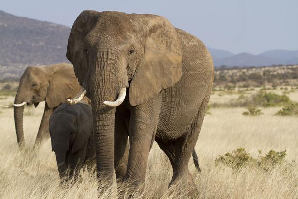Фотообои Слоны (animals-539)