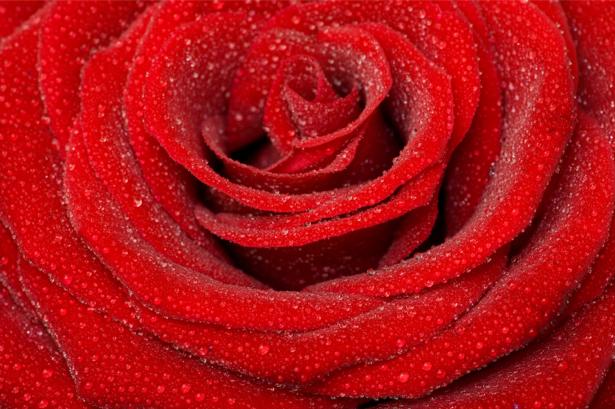 Алая, красная роза красивые цветы фото обои (flowers-0000077)