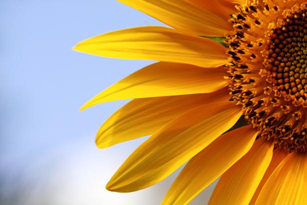 Фотообои на стену цветы -  Подсолнух (flowers-0000184)