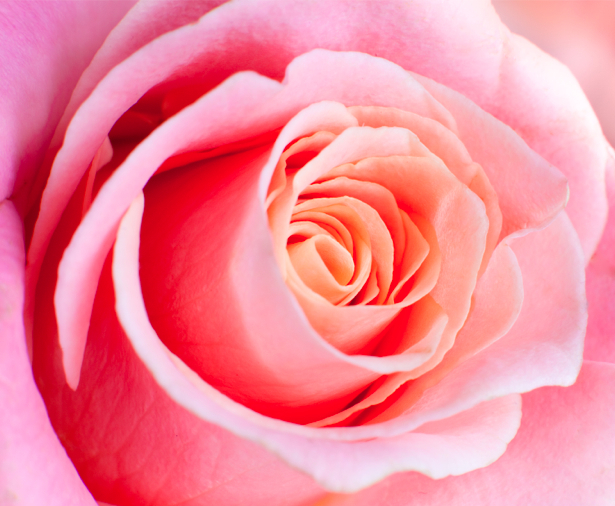 Розовая роза фотообои цветок (flowers-0000286)