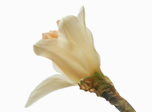 Фотообои на стену цветок - Белый бутон (flowers-0000364)