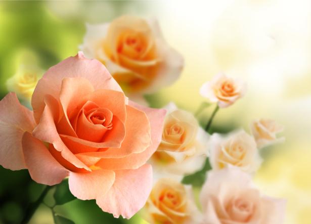 Фотообои на стену букет кремовых роз (flowers-0000470)