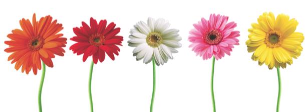 Фото обои цветы разноцветные герберы (flowers-0000483)