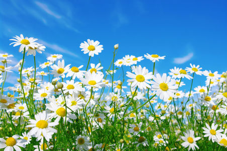 Фотообои Луговые ромашки (flowers-790)