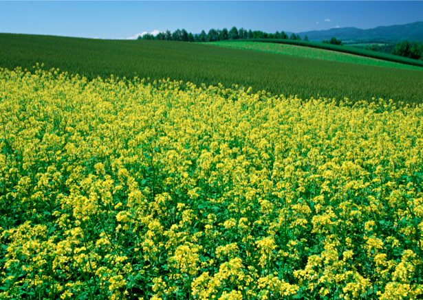 Фотообои поле полевые цветы желтые (nature-00223)