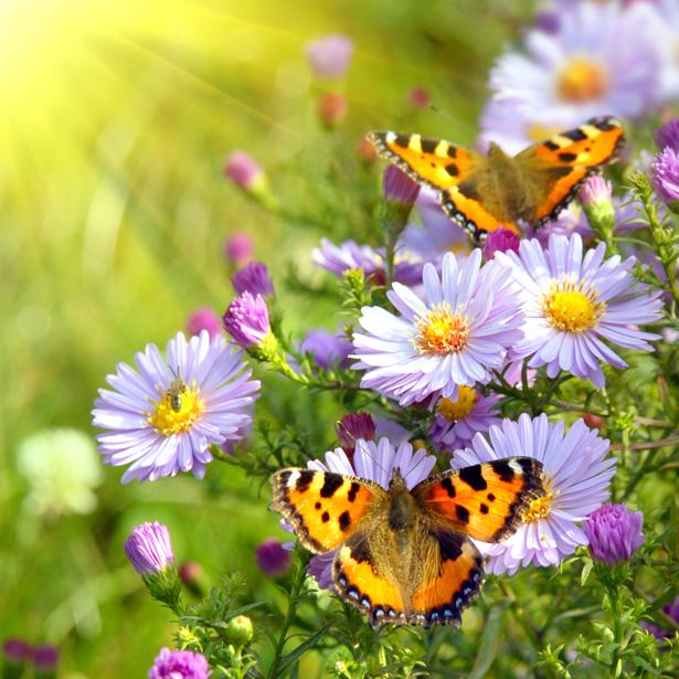 Фотообои маргаритки бабочки (nature-00578)
