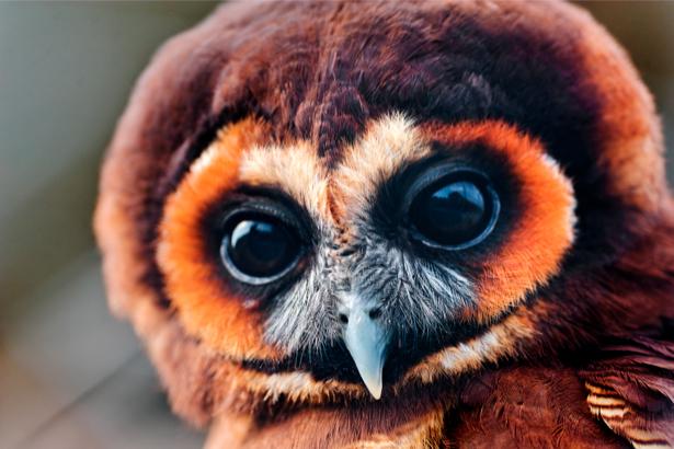 Фотообои сова, филин фото портрет (animals-0000024)