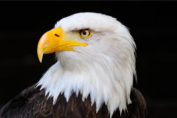 Фотообои орел фото портрет (animals-0000043)