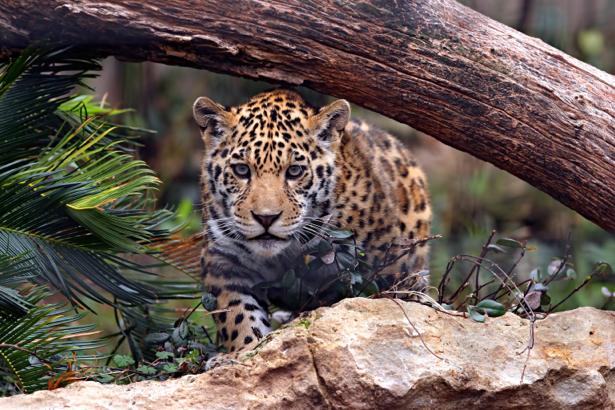 Фотообои гепард охота (animals-0000380)