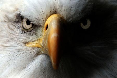 Фотообои Грозный орел (animals-570)