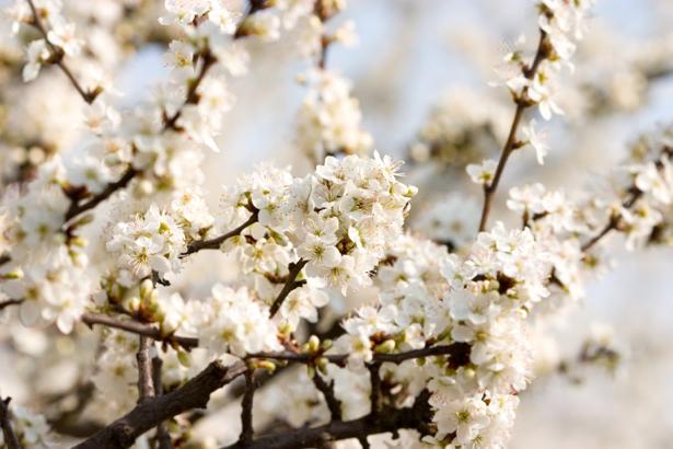 Цветущая ветка фото обои цветы (flowers-0000019)