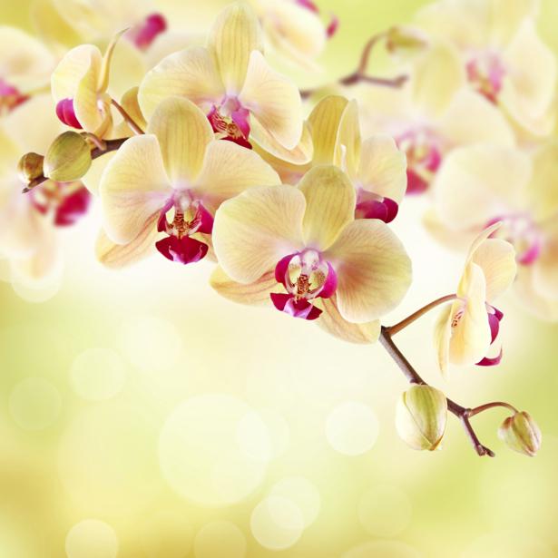 Цветущая орхидея Обои для стен фото (flowers-0000023)