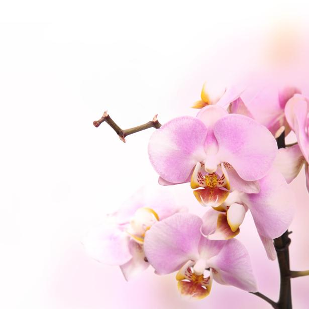 Розовая орхидея фотообои на стену цветы (flowers-0000033)