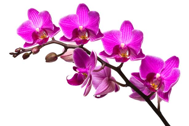 Фотообои на стену цветы Розовая орхидея (flowers-0000040)