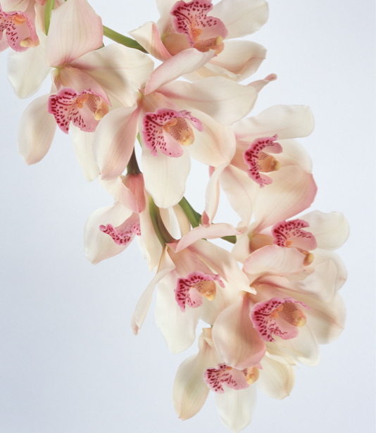 Цветы для спальни фото Белая орхидея (flowers-0000058)