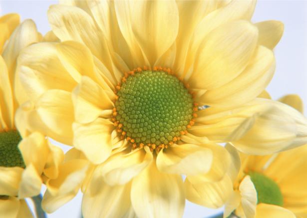 Обои для стен фото Желтые цветы (flowers-0000135)
