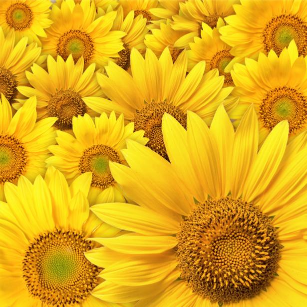 Фотообои на стену -  Подсолнухи (flowers-0000183)
