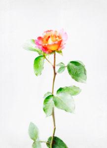 Фотообои на стену цветок - роза (flowers-0000289)