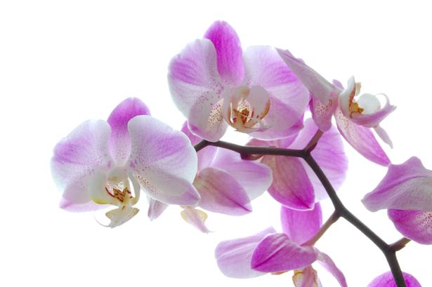 Фото обои Ветка лиловой орхидеи (flowers-0000297)